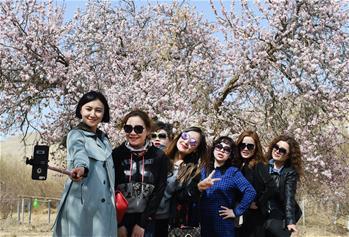 新疆吐魯番:杏花怒放春來早