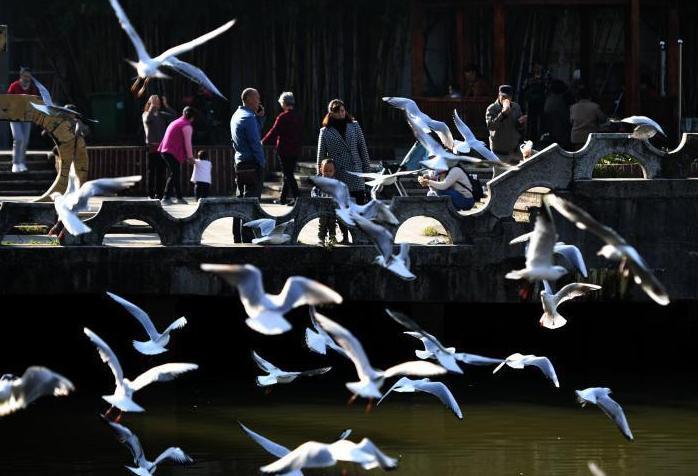 近百只紅嘴鷗現身昆明城區水域