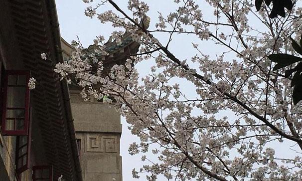 武漢大學櫻花初綻 盛花期未至遊人已如織