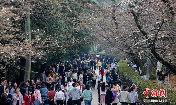 武漢大學櫻花初綻 吸引遊客觀賞