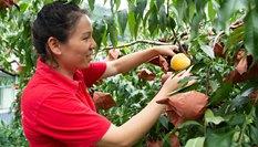 湖南炎陵:摘黃桃 促增收