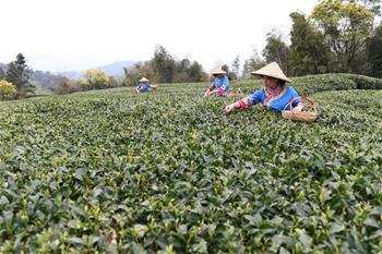 福鼎茶鄉迎來白茶開茶季