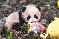2016新生熊貓寶寶集體亮相 賣萌拜年