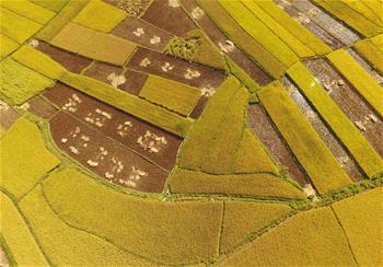 雲南廣南:金秋田野稻谷豐收